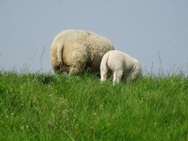 Corderos en pastoreo en el dique.