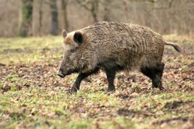 Afrikanische Schweinepest Wirkungsloser Wildzaun